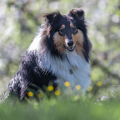 Collie Candy sitzend